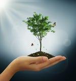 Het kweken van groene boominstallatie in een hand Stock Afbeelding