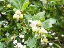 Het kweken van groene eikels die in een boom in de herfst slingeren stock afbeeldingen