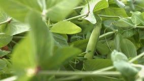 Het kweken van groene erwten in shell 3 schoten Close-up stock videobeelden