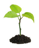 Het kweken van groene installatie in een hand Royalty-vrije Stock Afbeeldingen