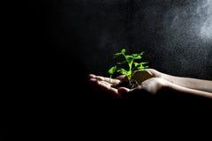 Het kweken van groene installatie in handen Royalty-vrije Stock Foto's