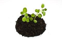 Het kweken van groene installaties in grond Stock Foto's