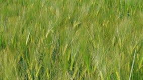 Het kweken van groene rogge op landbouwbedrijfgebied bij de lentedag, landbouw stock video