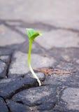 Het kweken van groene spruit in asfalt Stock Foto's