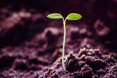 Het kweken van Groene Spruit van Grond in de Lente Landbouwseizoen Concept het nieuwe leven royalty-vrije stock foto
