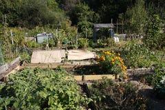 Het kweken van groenten in een toewijzing Stock Foto's
