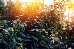 Het kweken van groenten in het van van van serrekomkommers, zaailingen, vruchten, eierstokken en bloemen close-up stock foto's