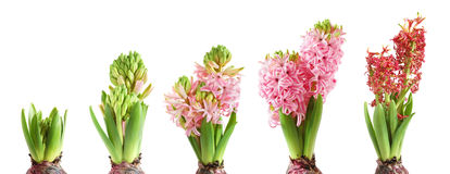 Het kweken van hyacint Stock Afbeeldingen