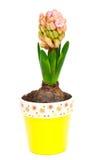 Het kweken van hyacint in een pot Stock Afbeelding