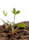 Het kweken van installaties van zaden Stock Foto