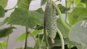 Het kweken van komkommer in een serre stock video