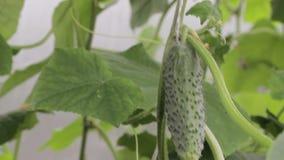 Het kweken van komkommer in een serre stock videobeelden
