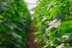 Het kweken van komkommer in serre Royalty-vrije Stock Afbeelding
