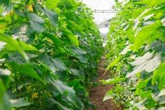 Het kweken van komkommer in serre Royalty-vrije Stock Foto