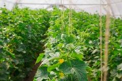 Het kweken van komkommer in serre Stock Afbeelding