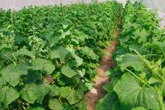 Het kweken van komkommer in serre Stock Fotografie