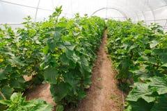 Het kweken van komkommer in serre Stock Foto