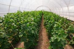 Het kweken van komkommer in serre Stock Afbeeldingen