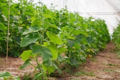 Het kweken van komkommer in serre Royalty-vrije Stock Foto's