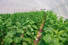 Het kweken van komkommer in serre Stock Foto's