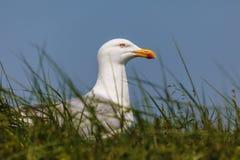 Het kweken van Nederlandse zeemeeuw op gras Stock Afbeeldingen