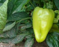 Het kweken van paprika op het gebied Royalty-vrije Stock Foto