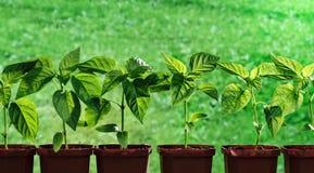 Het kweken van peper in potten Royalty-vrije Stock Afbeeldingen