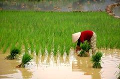 Het kweken van rijst op de vallei Stock Foto's