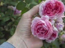 Het kweken van rozen in de open grond Variëteitsrozen Het bloeien nam in de palmen toe royalty-vrije stock afbeelding