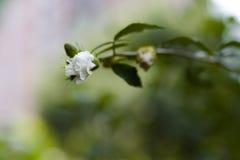 Het kweken van rozen in een tuin met onduidelijk beeldachtergrond Stock Afbeelding