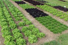 Het kweken van salades op een gebied Stock Fotografie
