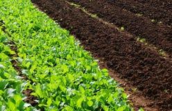 Het kweken van saladesla op gebied stock afbeelding