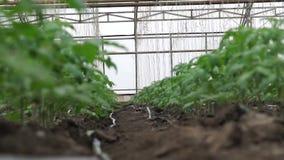 Het kweken van tomaten in een serre stock footage