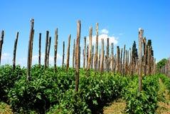 Het kweken van tomaten in rijen in de groente Stock Foto's