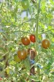 Het kweken van tomaten in serre Stock Foto
