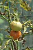 Het kweken van tomaten in serre Royalty-vrije Stock Foto