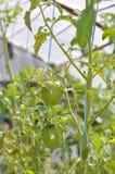Het kweken van tomaten in serre Royalty-vrije Stock Fotografie