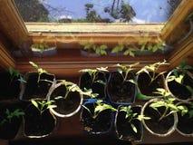 Het kweken van tomatenzaailingen op de vensterbank stock afbeelding