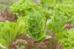Het kweken van verse organische sla in een tuin Royalty-vrije Stock Fotografie
