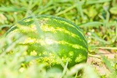 Het kweken van watermeloen op het gebied stock afbeelding