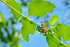 Het kweken van wespen Stock Foto's