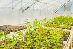 Het kweken van zaailingen van pruimboom in serre Stock Afbeelding
