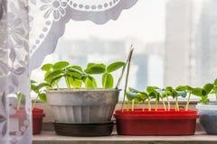Het kweken van zaailingen voor de lente die in de tuin planten Royalty-vrije Stock Afbeeldingen
