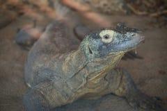 Het kwijlen Komodo Draak royalty-vrije stock afbeeldingen