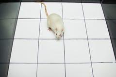 Het laboratoriumrat die van de albino op open gebiedsraad kijkt Royalty-vrije Stock Foto's