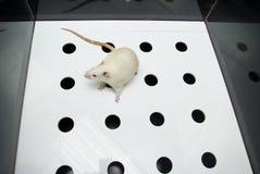 Het laboratoriumrat die van de albino terwijl op gatenraad beweegt zich Royalty-vrije Stock Foto