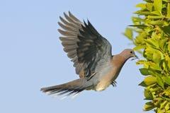 Het lachen Duif die met het bouwmateriaal aan het nest vliegen Royalty-vrije Stock Afbeeldingen