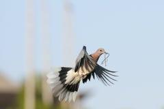 Het lachen Duif die met het bouwmateriaal aan het nest vliegen Stock Afbeelding
