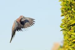 Het lachen Duif die met het bouwmateriaal aan het nest vliegen Stock Fotografie
