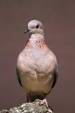 Het lachen duif op rots wordt neergestreken die Royalty-vrije Stock Fotografie